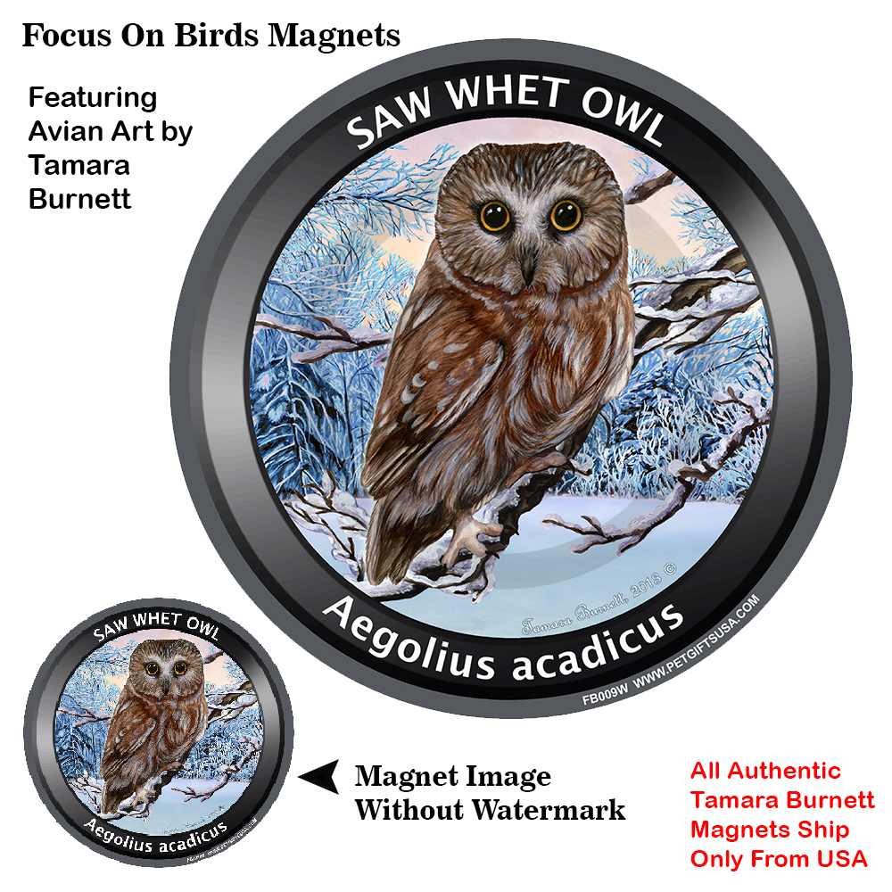 Saw Whet Owl - Winter Scene Focus On Birds Magnet Image